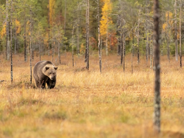 Eurasian Brown Bear - In The Woods
