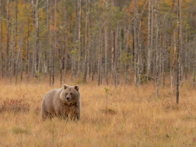 Eurasian Brown Bear - Into the Open