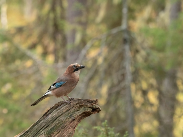 Eurasian Jay - Log hopper