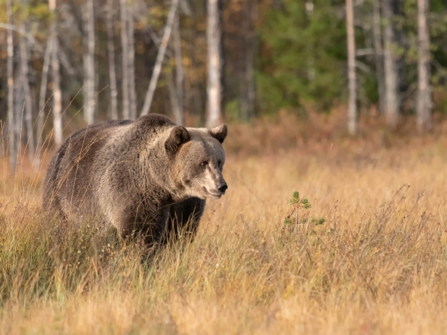 Eurasian Brown Bear - Thoughtfull