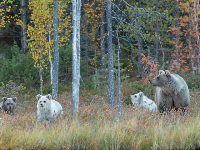 Eurasian Brown Bear - Mother and the Three Bears
