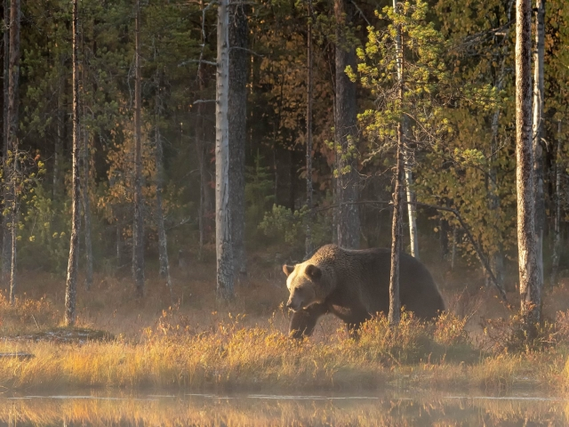 Eurasian Brown Bear - Tall Reflection