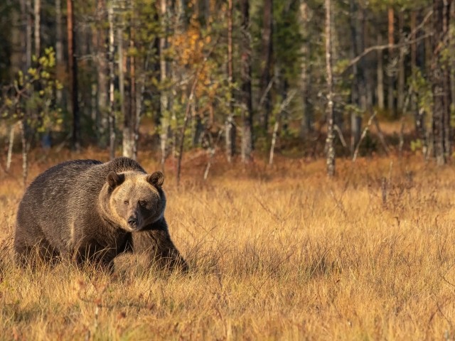 Eurasian Brown Bear - Golden Grass
