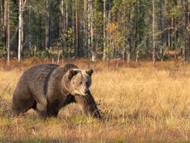 Eurasian Brown Bear - Wide Stride