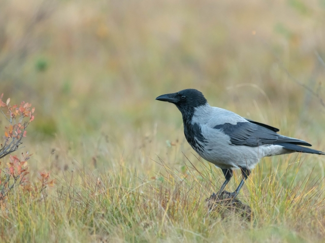 Hooded Crow - Rock Hopper