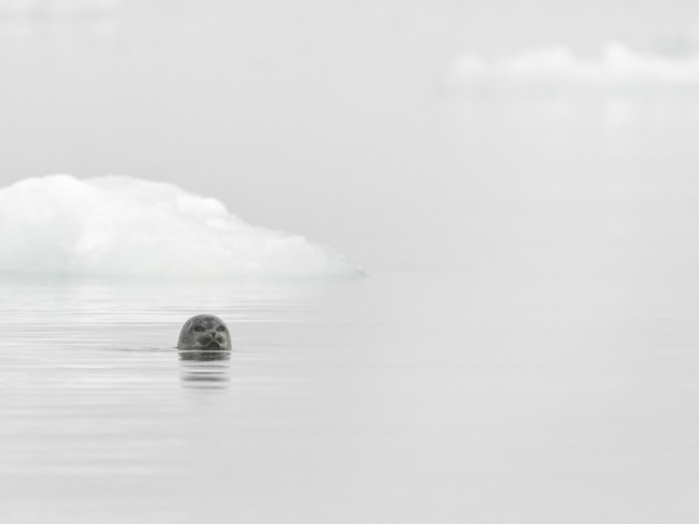 Bearded Seal - Burgerbukta