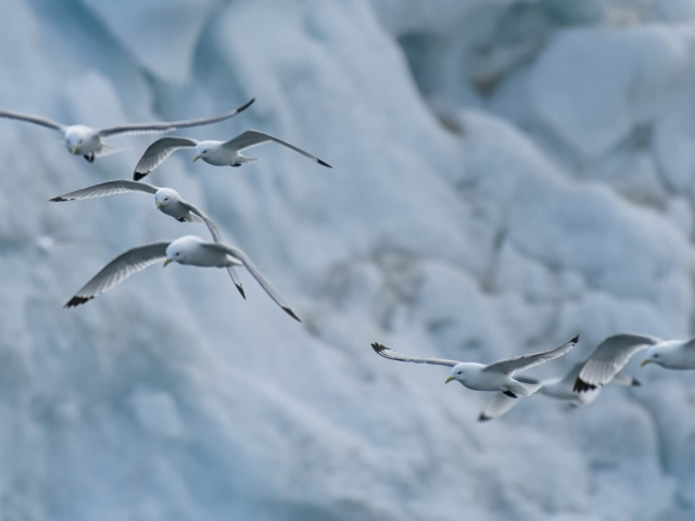 Kittiwake - Group on Blue Ice