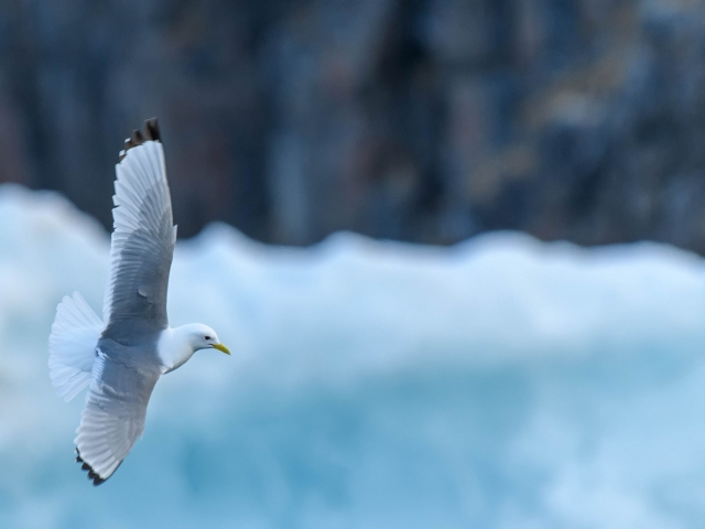 Kittiwake - Glinding at Heleysundet