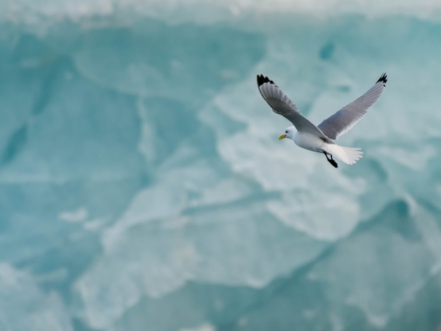 Kittiwake - Blue Ice at Heleysundet