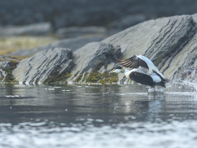 Common Eider - Bellsund
