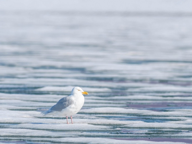 Kittiwake - On Ice at Nordfjorden