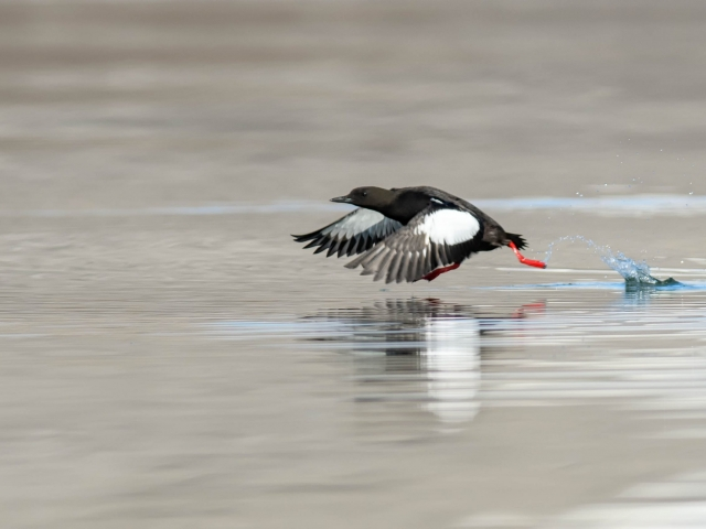 Black Guillemot - Take off at Nordfjorden