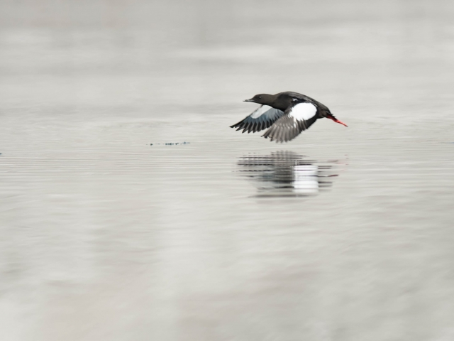 Black Guillemot - Reflection in Flight