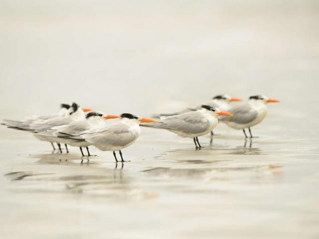 Royal Tern - Group