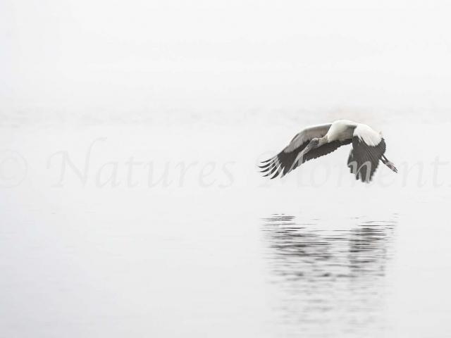 Wood Stork - Monochromatic Mist