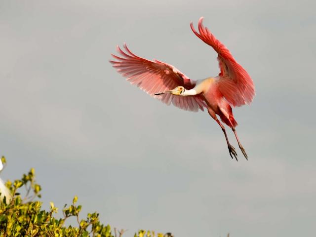 Roseate Spoonbill - Landing