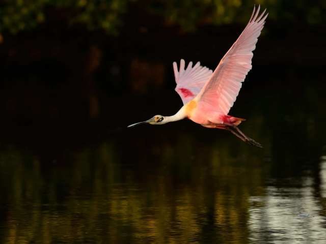 Roseate Spoonbill - Take off