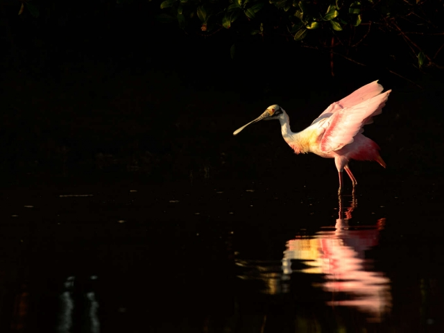 Roseate Spoonbill - Reflection I