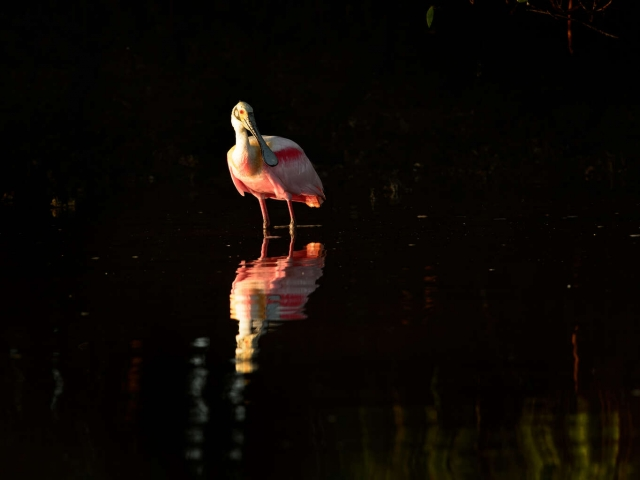 Roseate Spoonbill - Reflection II