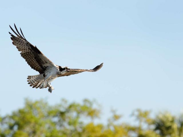 Osprey - Over Trees