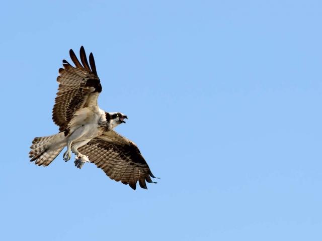Osprey - Calling