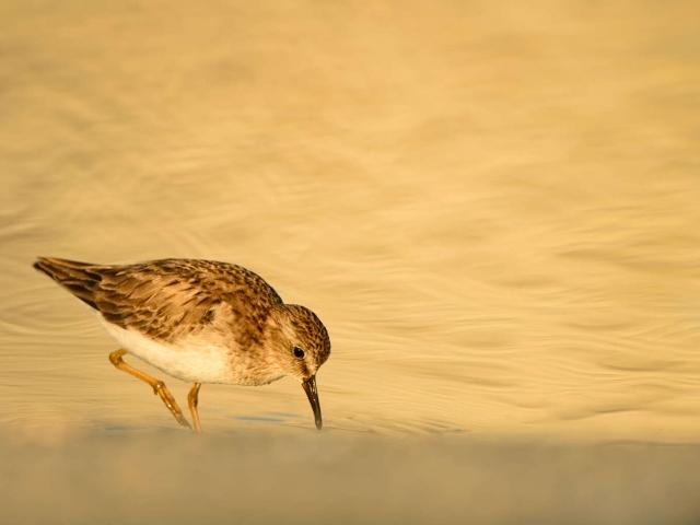 Least Sandpiper - Golden Light