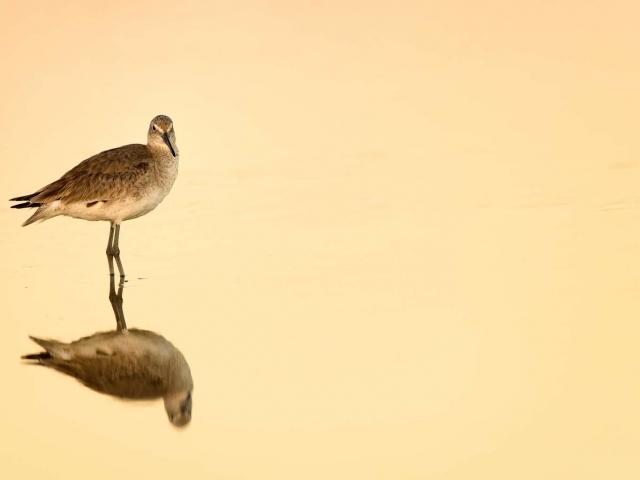 Common Greenshank - Reflection