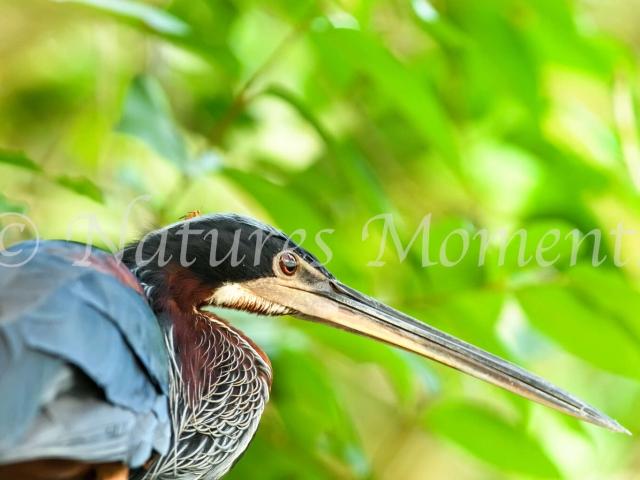 Agami Heron - Portrait