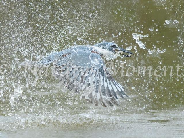 Ringed Kingfisher - Quite a Splash