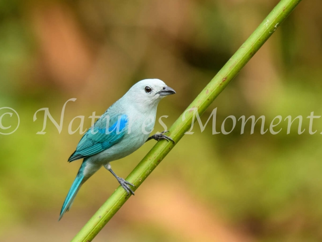 Blue-grey Tanager - Male