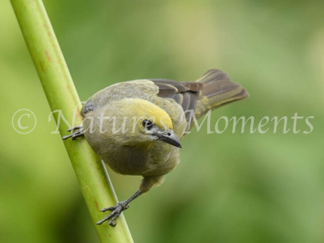 Palm Tanager - On a Reed