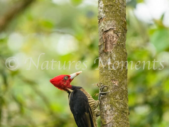 Pale-billed Woodpecker - Tree Climbing