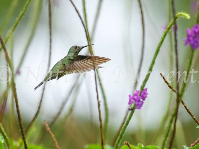 Scaly-breasted Hummingbird - In the Verbena
