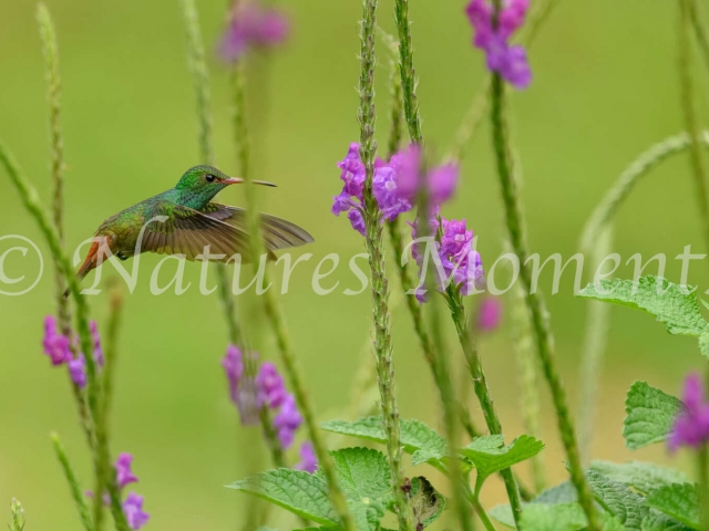 Rufous-tailed Hummingbird - Pollen Hunter
