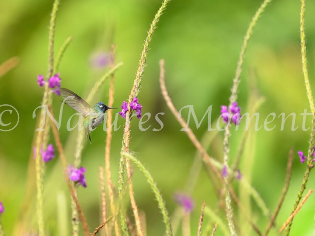 Violet-headed Hummingbird - Flight in the Verbena