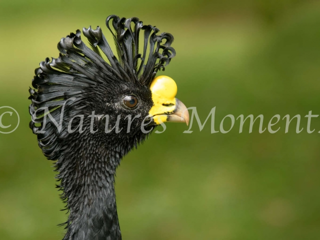 Greater Curassow - Portrait