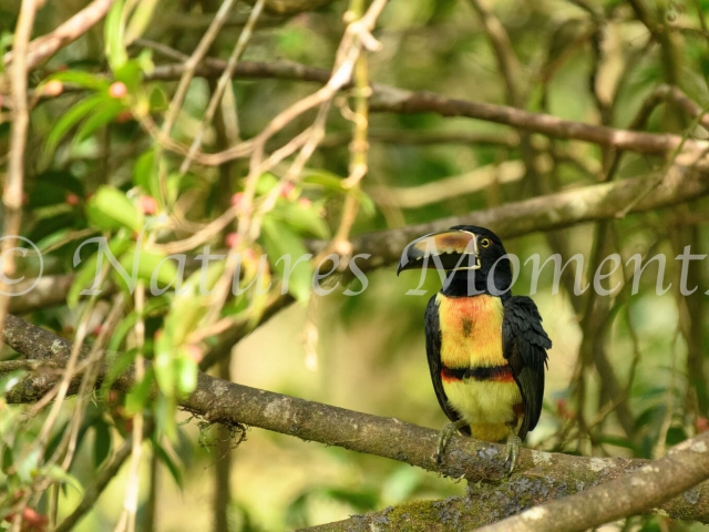 Fiery-billed Aracari - On a Perch