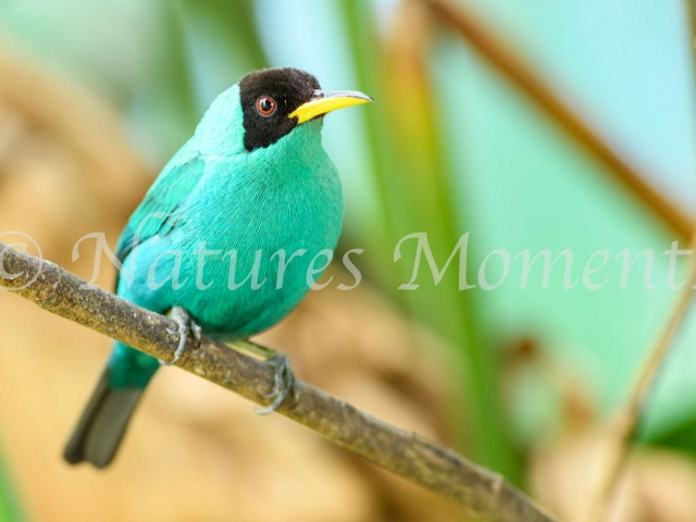 Green Honeycreeper - Male