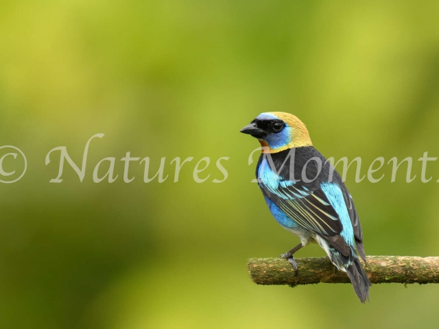 Golden-hooded Tanager - Male