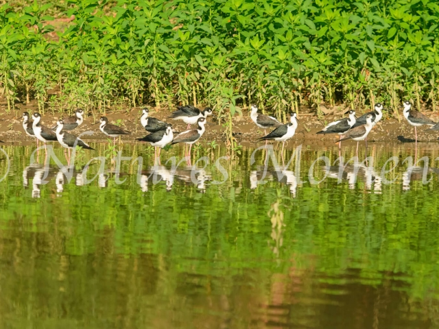 Black-winged Stilt - Group Reflection
