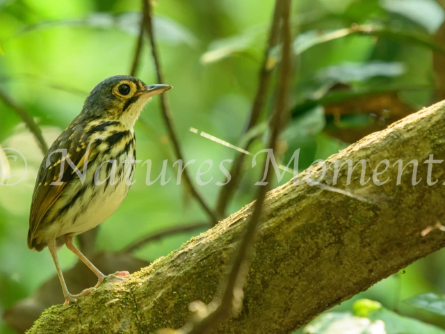 Streak-chested Antpitta - Side Profile