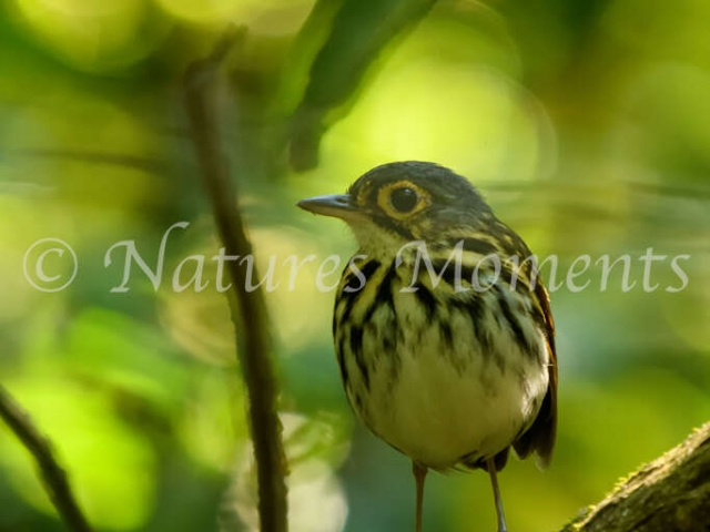 Streak-chested Antpitta - Front Profile