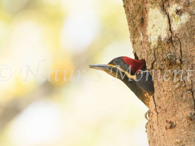 Lineated Woodpecker - Protecting the Nest