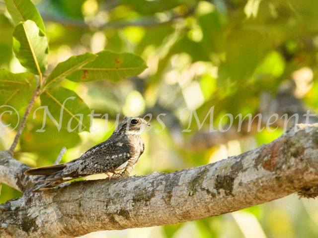 Lesser Nighthawk - Waiting for Nightfall