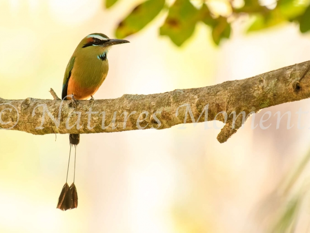 Turquoise-browed Motmot -  Sat in Evening Light