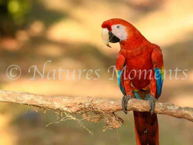 Scarlet Macaw - On a Perch