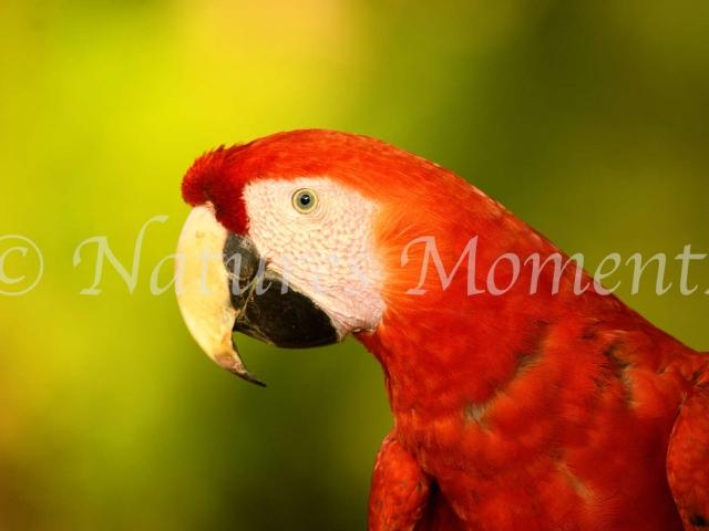 Scarlet Macaw - Closeup