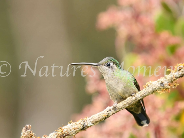 White Necked Jacobin Hummingbird - Female