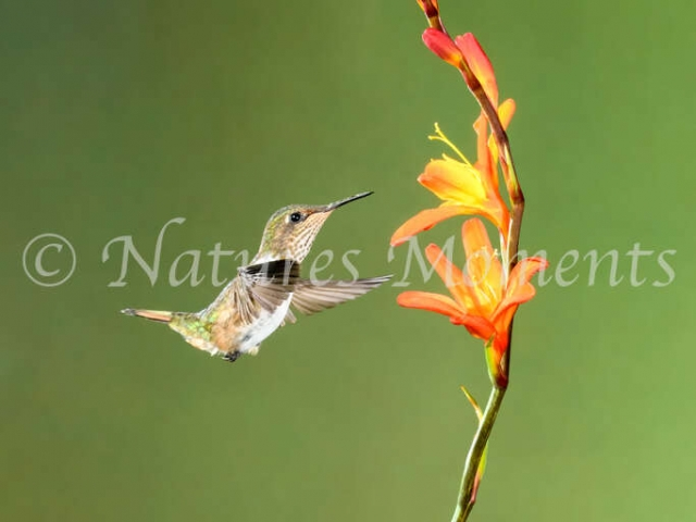 Volcano Hummingbird - Feeding on Nectar