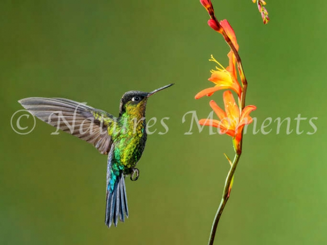 Fiery-throated Hummingbird - Orange Flower